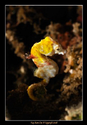 Pontohi Hippocampus pygmy seahorse in Lembeh Straits. 